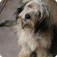 Adopt A Pet :: Saffron - Woonsocket, RI