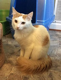 Domestic Longhair Cat for adoption in Breinigsville, Pennsylvania - Butterscotch - Barn cat