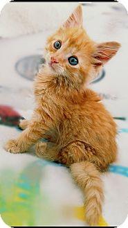 Domestic Mediumhair Kitten for adoption in Pittsburg, California - **Lucas K 'Luke' Duke -- Cats of Hazzard