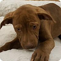 Adopt A Pet :: Felicia - Gilbert, AZ