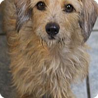 Adopt A Pet :: Muffin - Yuba City, CA