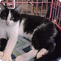 Domestic Mediumhair Cat for adoption in Columbus, Ohio - Cecelia