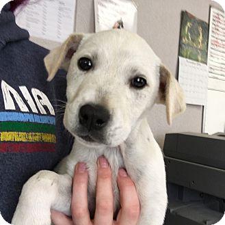 Border Collie/Labrador Retriever Mix Puppy for adoption in Visalia, California - Captain America