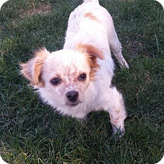 Pomeranian/Chihuahua Mix Dog for adoption in Potomac, Maryland - Ally