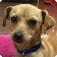 Adopt A Pet :: Presley - Oakley, CA