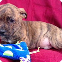 Labrador Retriever Mix Puppy for adoption in Albany, New York - Wyatt