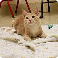 Domestic Shorthair Cat for adoption in Windsor, Virginia - Cream Puff