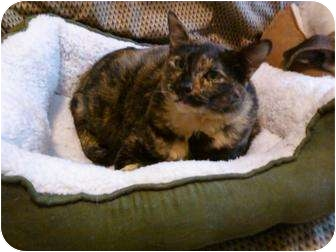 Domestic Shorthair Cat for adoption in Little Rock, Arkansas - Miss Kitty