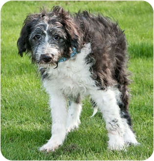 Sheepdog With A Shetland Sheepdog And Poodle Mix Puppies | Dog ...