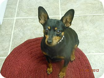 Miniature Pinscher Dog for adoption in Myersville, Maryland - Chloe