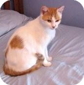 Domestic Shorthair Cat for adoption in Acushnet, Massachusetts - Marda