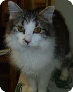 Domestic Longhair Cat for adoption in Hamburg, New York - Gloria
