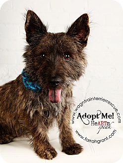 Cairn Terrier/Corgi Mix Dog for adoption in Omaha, Nebraska - Bella Donna