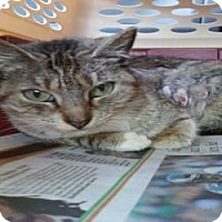 Domestic Shorthair Cat for adoption in Fort Lauderdale, Florida - Mariah
