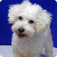 Adopt A Pet :: Billy the Bichon - REDDING, CA