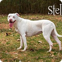 American Pit Bull Terrier Dog for adoption in Amory, Mississippi - Stella