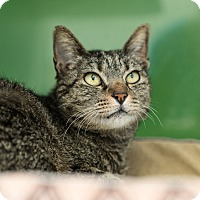 Domestic Shorthair Cat for adoption in Houston, Texas - Solana
