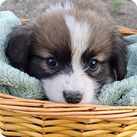 Adopt A Pet :: Suki Pup - Korra - Adopted! - San Diego, CA