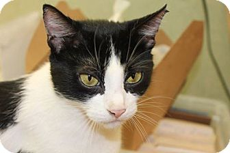 Domestic Shorthair Cat for adoption in Cranston, Rhode Island - Olive