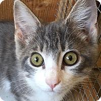 Domestic Shorthair Kitten for adoption in Chicago, Illinois - Jon Snow