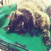 Domestic Mediumhair Cat for adoption in McKinney, Texas - Tippy Toes