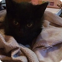 Domestic Shorthair Kitten for adoption in Lindsay, Ontario - Midnight