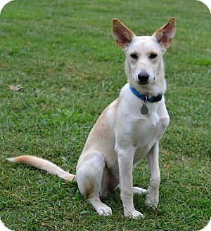 German Shepherd Dog Mix Dog for adoption in Marietta, Georgia - Blanca