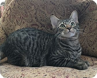 Domestic Shorthair Cat for adoption in Plano, Texas - YETI- SUPER COOL HUGE KITTEN!
