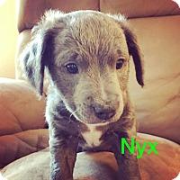 Adopt A Pet :: Nyx - Concord, CA