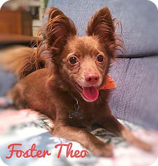 Chihuahua/Dachshund Mix Dog for adoption in Apex, North Carolina - Theo