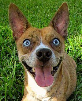 Chihuahua/Husky Mix Dog for adoption in Orlando, Florida - Diamond