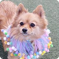 Adopt A Pet :: *ROSE - Las Vegas, NV