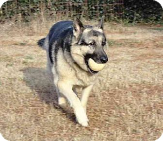 German Shepherd Dog Dog for adoption in Sterling, Virginia - Sabastian 3368