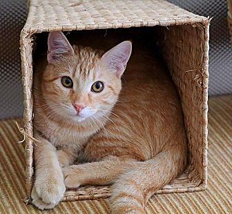 Domestic Mediumhair Kitten for adoption in Euless, Texas - Kitten - Teddy