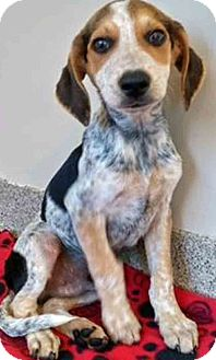 Hound (Unknown Type) Mix Puppy for adoption in Gahanna, Ohio - ADOPTED!!!   Ennis