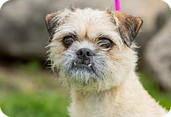 Pug/Brussels Griffon Mix Dog for adoption in San Diego, California - Piper