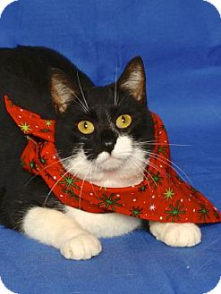 Domestic Shorthair Cat for adoption in Gloucester, Virginia - MARLO