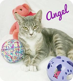 Domestic Shorthair Cat for adoption in Kendallville, Indiana - Angel