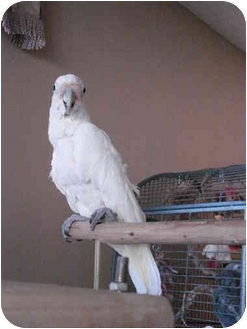 Cockatoo for adoption in Redlands, California - Tofu