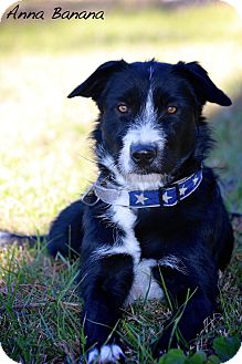 Border Collie/Terrier (Unknown Type, Medium) Mix Dog for adoption in Wilmington, Delaware - Anna Banana