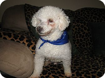 Poodle (Miniature) Dog for adoption in Tumwater, Washington - Cody