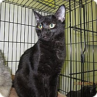 Adopt A Pet :: Midnight - Jeffersonville, IN