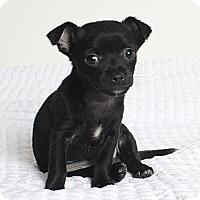 Adopt A Pet :: Velvet - Oakland, CA