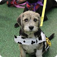 Adopt A Pet :: Brody - Morgantown, WV