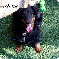 Adopt A Pet :: Schatzie - Chandler, AZ