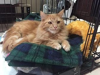 Domestic Longhair Cat for adoption in Johnson City, Tennessee - Reggie