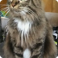 Adopt A Pet :: Addie (Norwegian Forest Cat) - Witter, AR