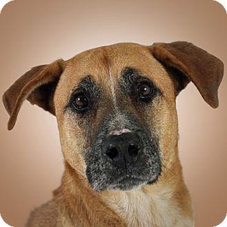 Black Mouth Cur Mix Dog for adoption in Prescott, Arizona - Tysen