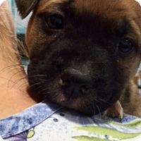 Adopt A Pet :: Kaboom - Barnegat, NJ
