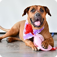 Boxer Mix Dog for adoption in Vancouver, British Columbia - Babe